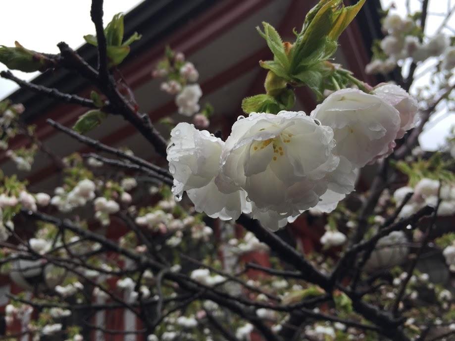 monte-kurama-flor-almendro